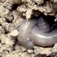 Hormogaster redii en estado de estivación | Marta Novo