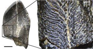 Detalle de la ornamentación de la superficie de uno de los dientes estudiados.