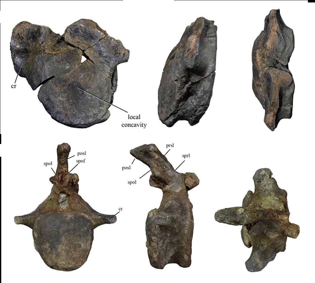 algunas de las vértebras de saurópodos estudiadas en el articulo y que pueden pertenecer a turiasaurios portugueses
